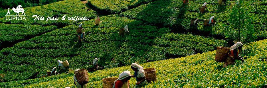 Blog d'information sur le thé